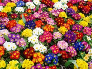 çuha-çiçeği